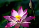 Hoa sen và tình yêu thuần khiết