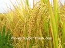 Mô phỏng cánh đồng lúa chín