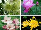 Hoa bốn mùa cho may mắn quanh năm