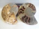 Cặp vỏ ốc hóa thạch K086-4117