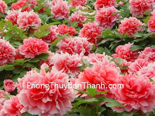 hoa mau don Hoa mẫu đơn và hạnh phúc trong tình yêu