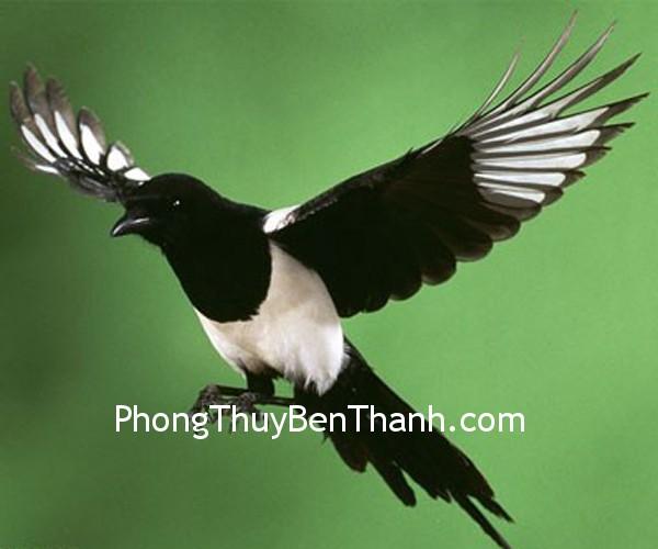 chim ac Chim Ác Là tượng trưng cho niềm vui và điềm lành