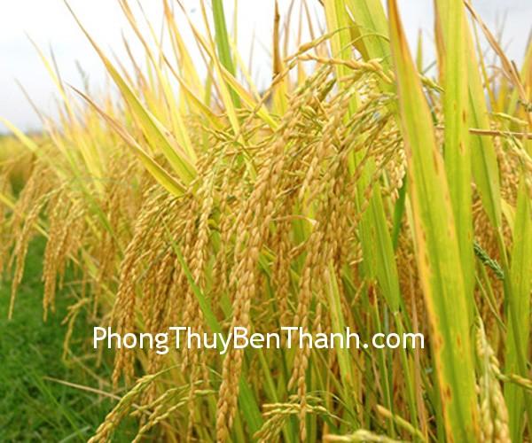 canhh dong lua Mô phỏng cánh đồng lúa chín
