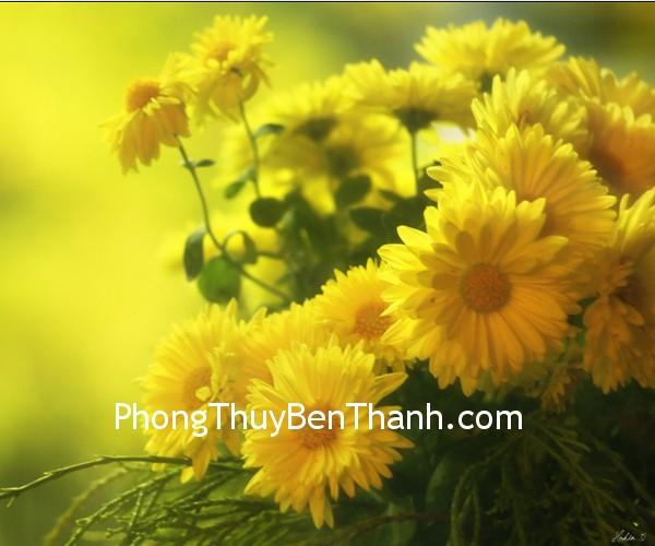 hoa cuc Hoa mận và cúc vàng tượng trưng cho một cuộc sống thuận lợi