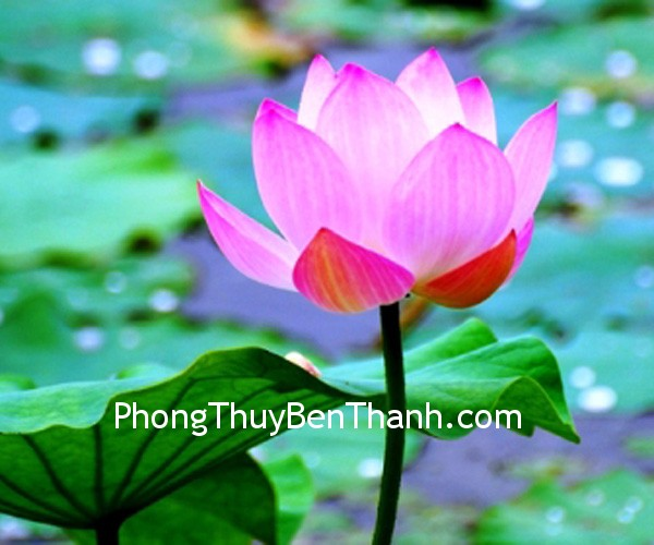hoa sen cho su thuan khiet tam hon Hoa sen cho sự thuần khiết trong tâm hồn