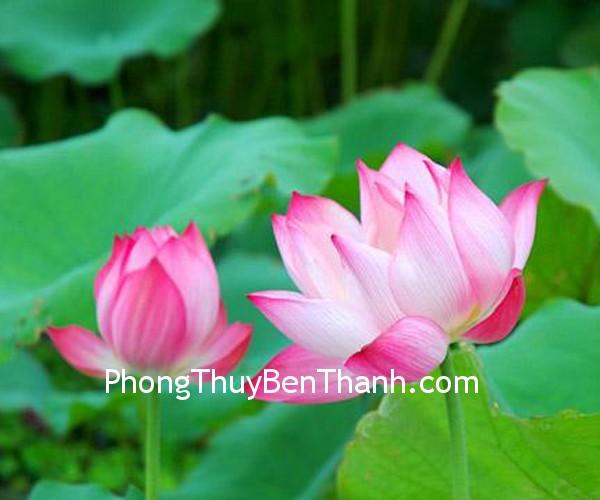 sen hong Hoa sen tượng trưng cho sự thanh khiết và toàn mỹ